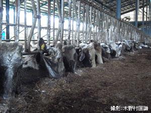スタンチョンという器具をつながれた牛はエサを与えられることなく餓死。崩れ落ちるように死んでいった。