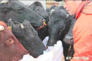 エサを持ってくると牛たちは我先にと集まってくる。